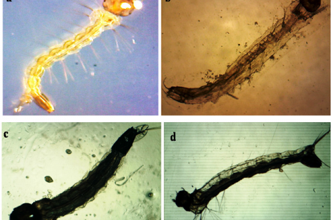 Growth disruption effects mediated by Serratia marcescens extract at 48 h exposure