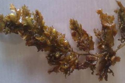 Sargassum wightii Greville ex J.Agardh.